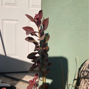 Decorative Plants (real) for Sale in Arvin, CA