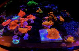 Green with Red dots, Orange, Blue & Red Mushroom Frags for Sale in Hialeah, FL