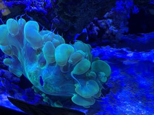 Toxic green Plerogyra ( Bubble Coral) for Sale in Rancho Cucamonga, CA