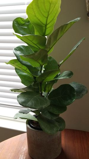 Fiddle Fig Plant for Sale in St. Louis, MO