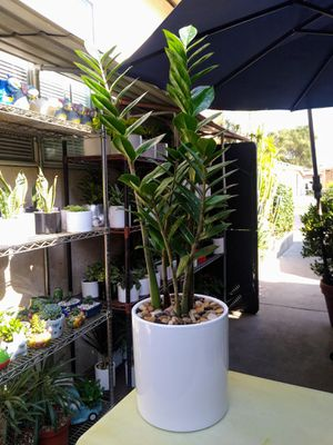 ZZ INDOOR PLANT for Sale in Paramount, CA