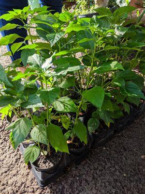 Chile Piquin Plants for Sale in Wimauma, FL