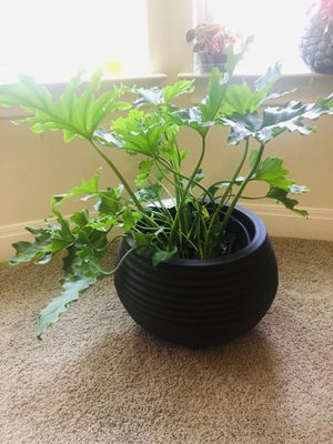 Large indoor plant for Sale in Austin, TX