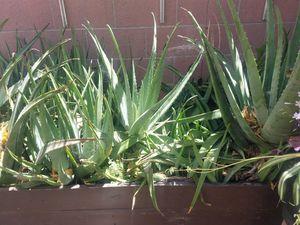 Free savila or Aloe plants for Sale in Whittier, CA
