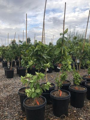 Citrus trees, privacy trees, shade trees, locally grown roses, decorative trees, agave and cacti! Local tree farm! for Sale in Goodyear, AZ