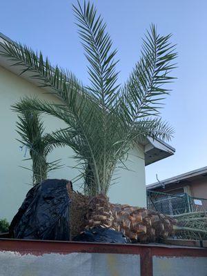 Palm tree field grown for Sale in Miramar, FL