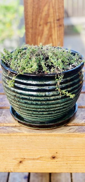 Live outdoor or indoor Orange Balsam Thyme herb plant in a textured ceramic planter flower pot—with base attached for Sale in Renton, WA