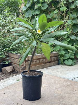 Plumeria plant with yellow and white flowers for Sale in Corona, CA