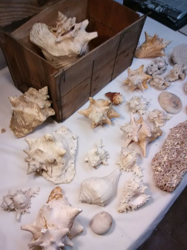 A Lot of Sea Shells - All for $10! Conchs, etc., etc.