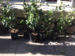 Potted flower jasmine for Sale in Monrovia, CA