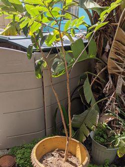 Guava Tree for Sale in Bonita Springs,  FL