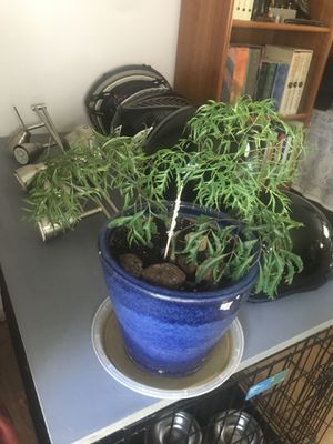 Aralia plant starters. (Not in this pot, approx size of all avail). for Sale in Manchester, MD