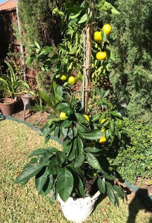 Organic mandarin tree with lots of fruits for Sale in Plano, TX