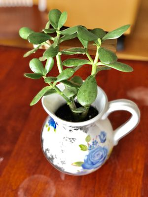 Jade Succulent with Pot - Silver Spring (Pick Up Only) for Sale in Silver Spring, MD