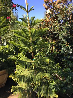 Araucaria heterophylla, Norfolk Island pine, star pine tree for Sale in Highland, CA