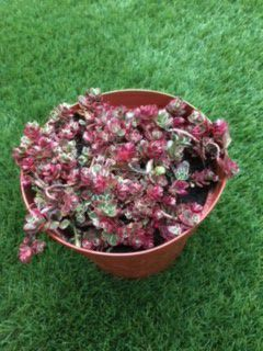 Pink and Green Succulent Plant for Sale in San Marcos, CA