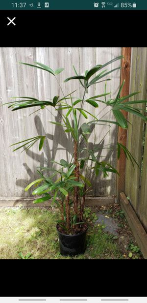 Natures Air Purifier- Rhapis Excelsa Plant/Tree, also known as Broadleaf Lady Palm or a Bamboo Palm- species of Fan Palms🌴 for Sale in Tacoma, WA