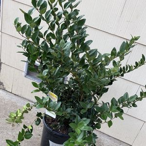 'Wax leaf Ligustrum' Real Plant For Sale!! for Sale in Concord, CA