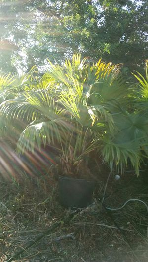 Chinese fan palm for Sale in Sebring, FL