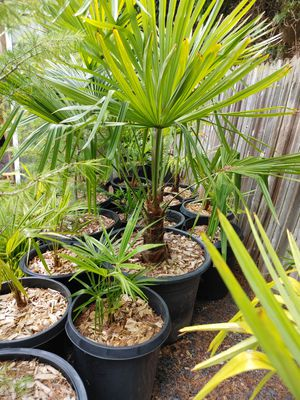 25 gallon Trachycarpus fortunei. for Sale in Renton, WA