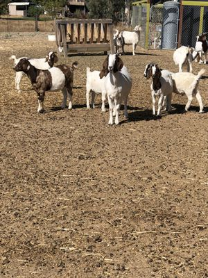Turkeys and goats for sale for Sale in Madera, CA