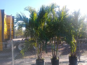 Christmas palms 10 foot tall delivered and planted. 10 foot tall for Sale in Tampa, FL