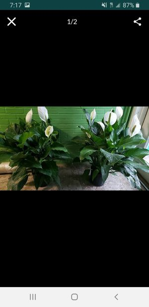 Large peace lily's for Sale in Clinton, MD