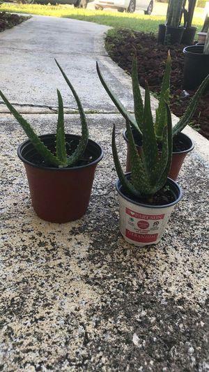 Aloe Vera live plant size 7 inches high for Sale in Orlando, FL