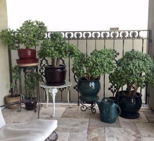 Elephant food succulent bonsai for Sale in Glendale, AZ