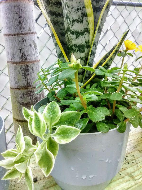 Snake Plant Medley