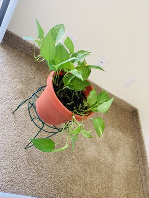 Live plant(pothos)with stand $10 for Sale in Phoenix, AZ
