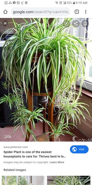 Spider plant gourges for Sale in Miami, FL