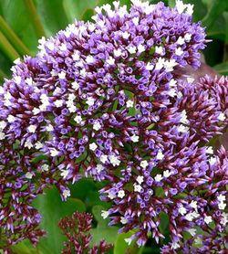 Sea Lavender Plant for Sale in Arcadia,  CA