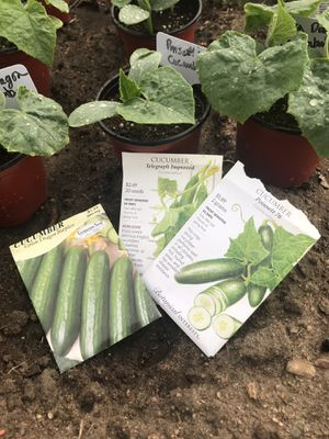 Cucumber vegetable plants (only 3 left) for Sale in Colorado Springs, CO