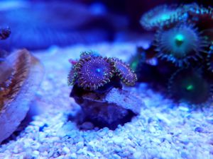 Psychosis Rare Zoa (5 Polyps+) for Sale in Anaheim, CA