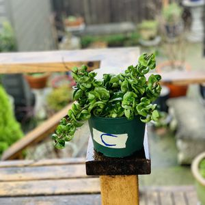 Live indoor Hoya Hindu Rope plant in a plastic planter pot—firm price for Sale in Tukwila, WA