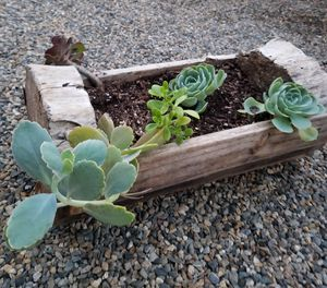 Succulents for Sale in Exeter, CA