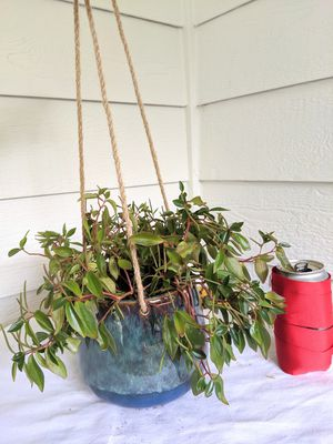 Bibi Peperomia Plants in Hanging Ceramic Planter Pot- Real Indoor House Plant for Sale in Auburn, WA