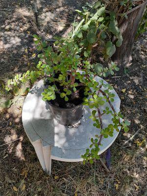 Jade succulent plants 1 gal for Sale in Rialto, CA