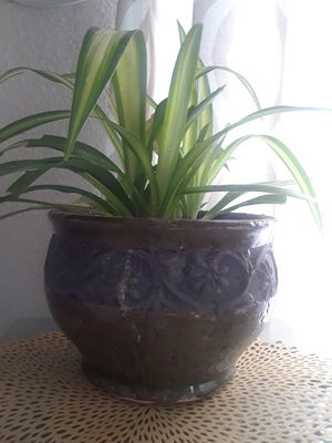 Spider plant! Potted! Please! for Sale in Grand Prairie, TX