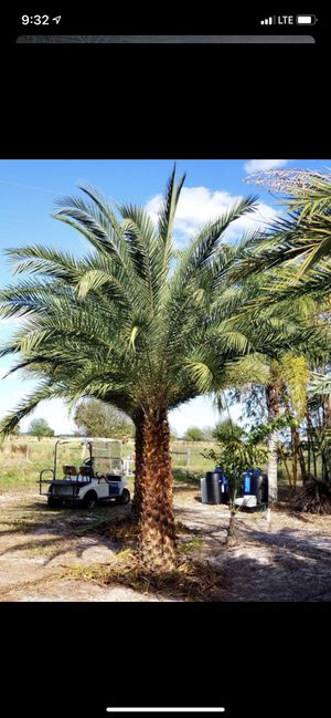 Palm tree 7 ft for Sale in Miami Gardens, FL