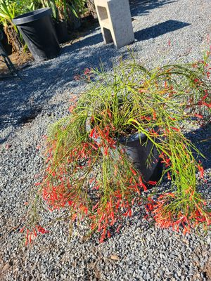 firecracker plant for Sale in Ontario, CA