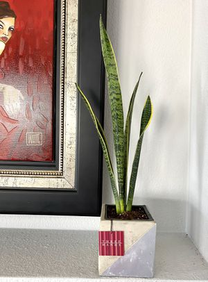 Live Snake plants in a new contemporary cement planter for Sale in Las Vegas, NV