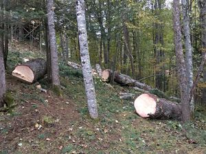 FREE large white pine logs for Sale in Mars Hill, NC