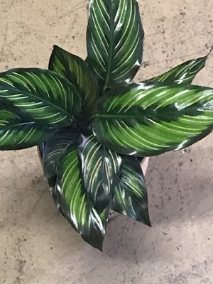 CALATHEA Grosellero plant 🌱 ( REAL) for Sale in San Francisco, CA