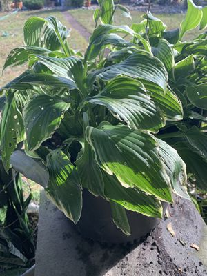 Outdoor plants, in big pots 3 for 60 or one for 25 for Sale in Princeton, NJ
