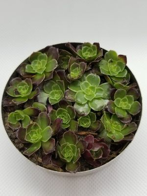 Babies succulents for Sale in San Diego, CA