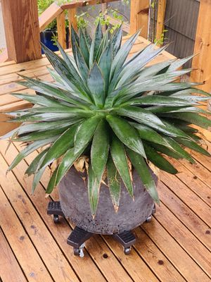Live huge outdoor Blue Agave plant in a plastic planter flower pot—firm price for Sale in Seattle, WA