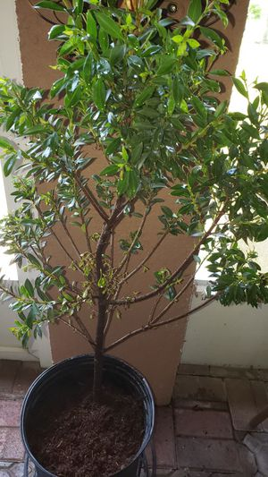 2ft topiary for Sale in Kissimmee, FL
