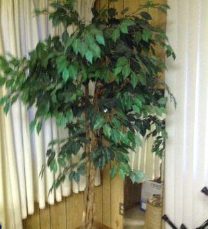 Ficus tree for Sale in Sun City, AZ